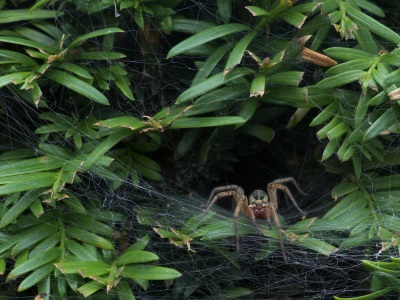 Agelena labyrinthica sur sa toile