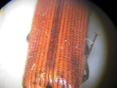 Ampedus sp.