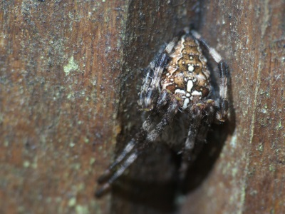 Araneus diadematus ; l`Epeire-diadème