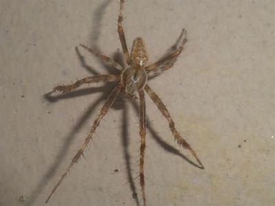 Araneus diadematus mâle adulte