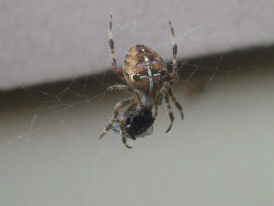 Araneus diadematus femelle