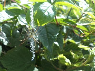 Argiope bruennichi et stabilimentum