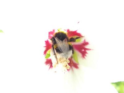 Bombus gr. terrestris, Bourdon