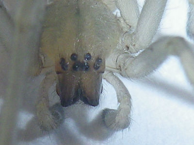 Cheiracanthium sp. femelle