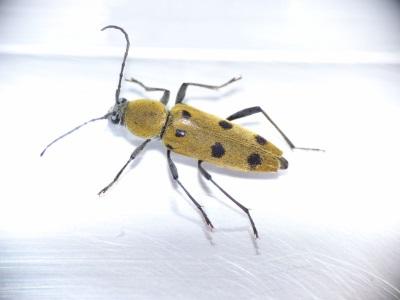 Chlorophorus glabromaculatus
