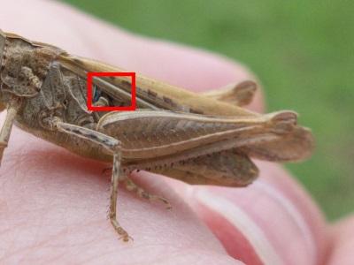 Chorthippus gr. BMM - lobe basal