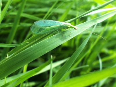 Chrysoperla carnea, la Chrysope verte, la demoiselle aux yeux d`or