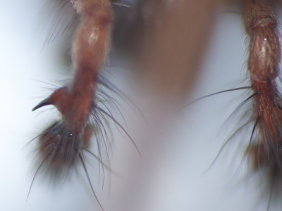 Eratigena atrica, la Tégénaire