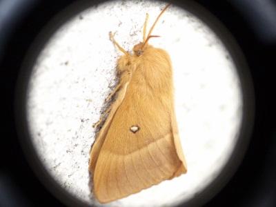 Lasiocampa quercus ; le Bombyx du chène