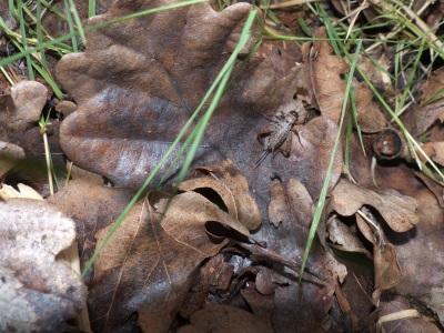 Nemobius sylvestris, le grillon champêtre