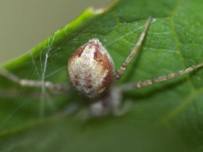 Philodromus sp.