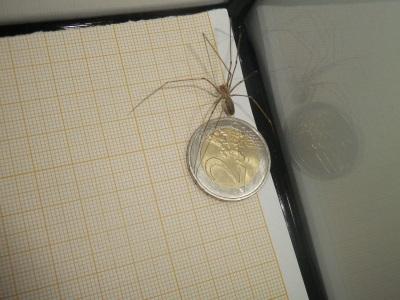 Pholcus phalangioides mâle adulte