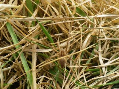 Pisaura mirabilis dans l`herbe