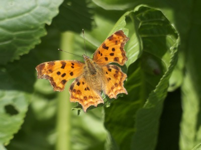 Polygonia c-album ; le Robert-le-Diable