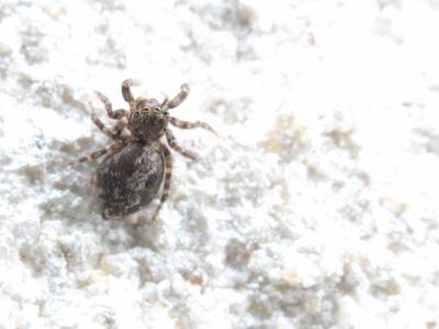Pseudeuophrys erratica