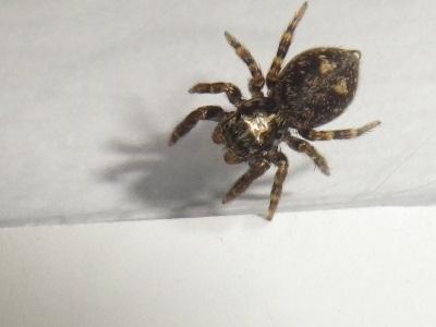 Pseudeuophrys erratica femelle