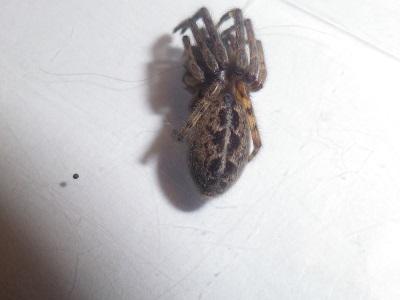 Segestria bavarica femelle