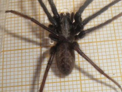 Segestria florentina mâle adulte