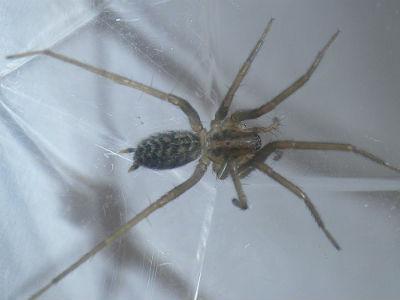 Tegenaria sp. gr. atrica femelle