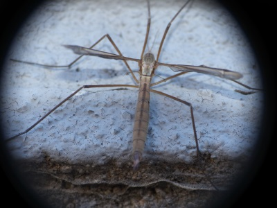 Tipula paludosa, la Tipule des prairies, un cousin