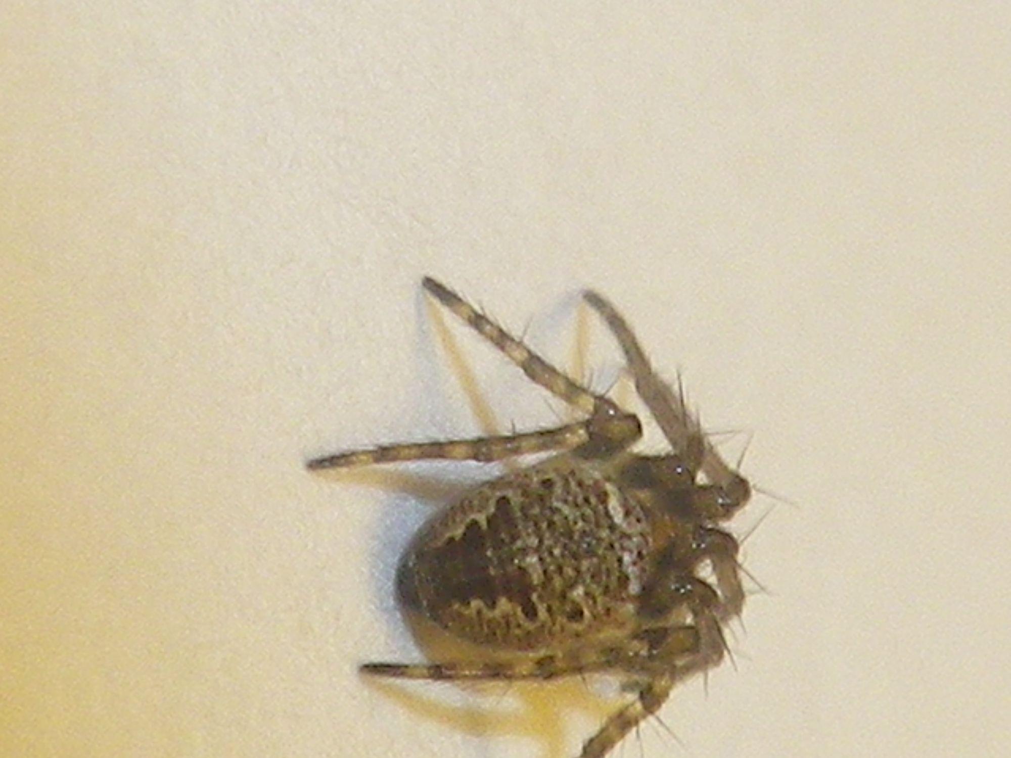 Zilla diodia mâle adulte