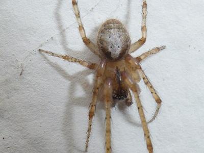 Zygiella x-notata mâle